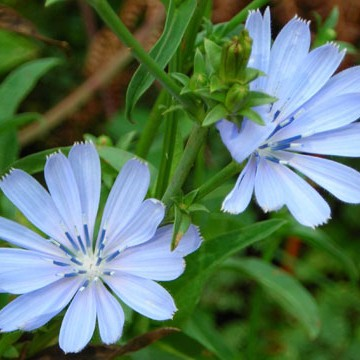 Chicory Flores de Bach