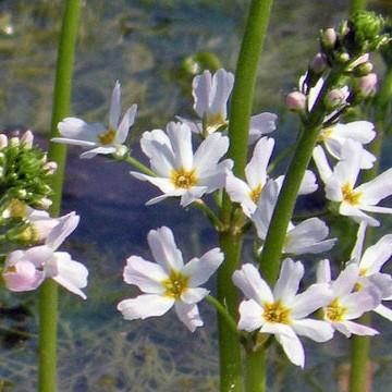 Water Violet Flores de Bach