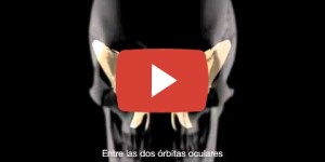 Los huesos del cráneo