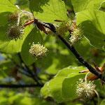 Beech flores de bach para la alergia