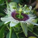 Infusión de passiflora para el dolor de cabeza
