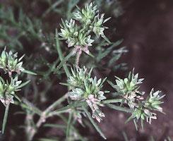 Scleranthus, flores de bach para la inseguridad, dura, incertidumbre