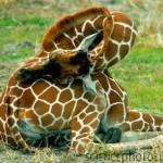 Estiramiento cervical jirafa