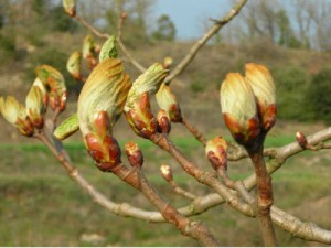 chestnut buds